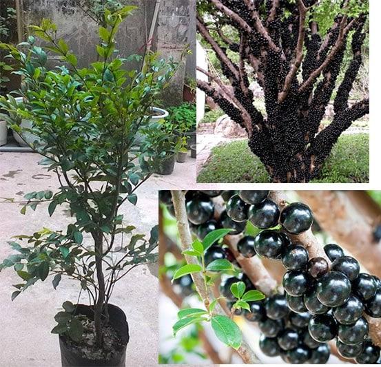cây nho thân gỗ ra nhiều quả