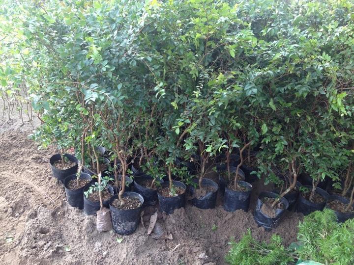Lựa chọn giống cây tốt để có được nhiều những cây nho thân gỗ sai quả