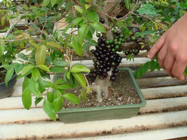 Cây nho thân gỗ có thể được trồng trong chậu