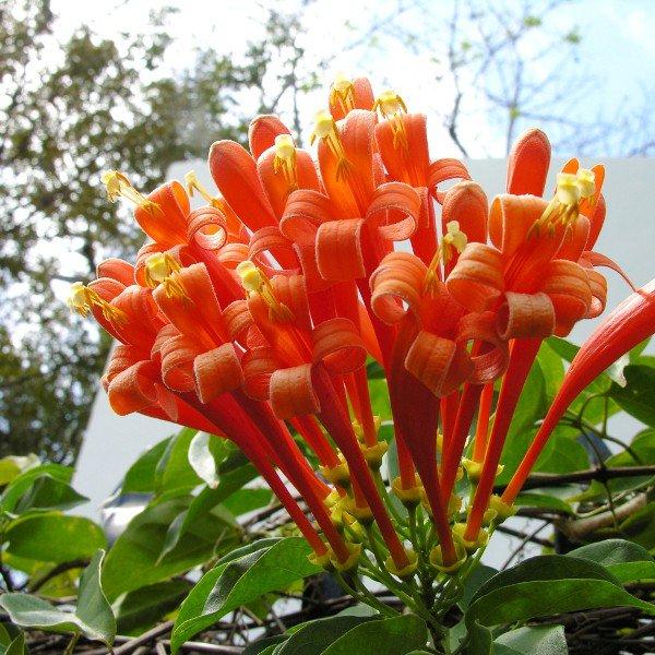 những bông hoa leo rạng đông đẹp nhất