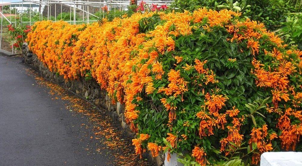 ngắm nhìn những bờ tường phủ cây hoa rạng đông