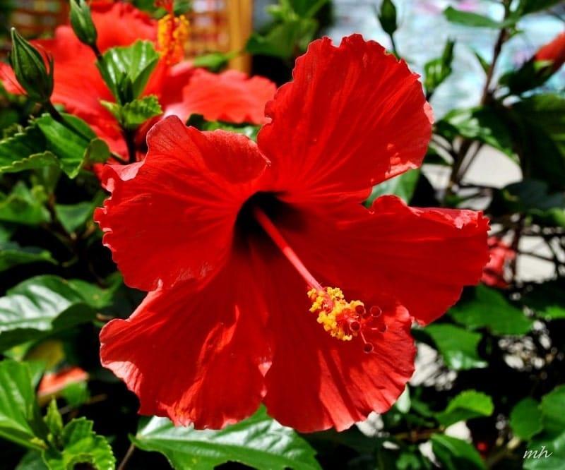 bông hoa dâm bụt khoe sắc đẹp