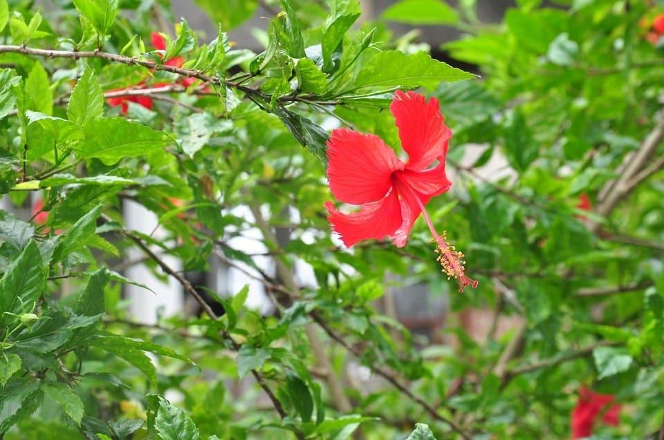 Ý nghĩa về mặt thực vật của hoa dâm bụt