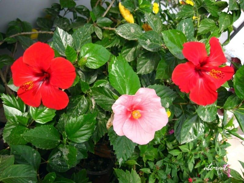 hoa dâm bụt nhiều màu sắc