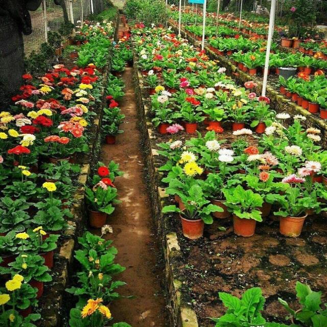 những cây hoa đồng tiền phát triển trong điều kiện tốt