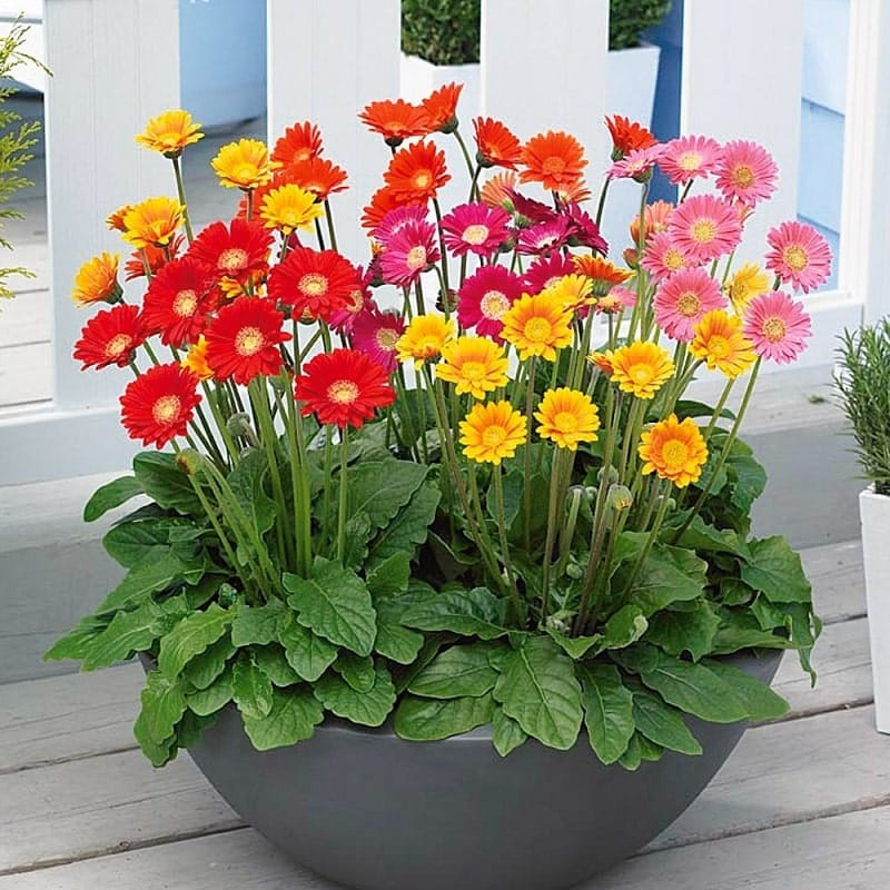 hoa đồng tiềng hợp với tuổi nào Kỹ thuật trồng và chăm sóc hoa đồng tiền quanh năm