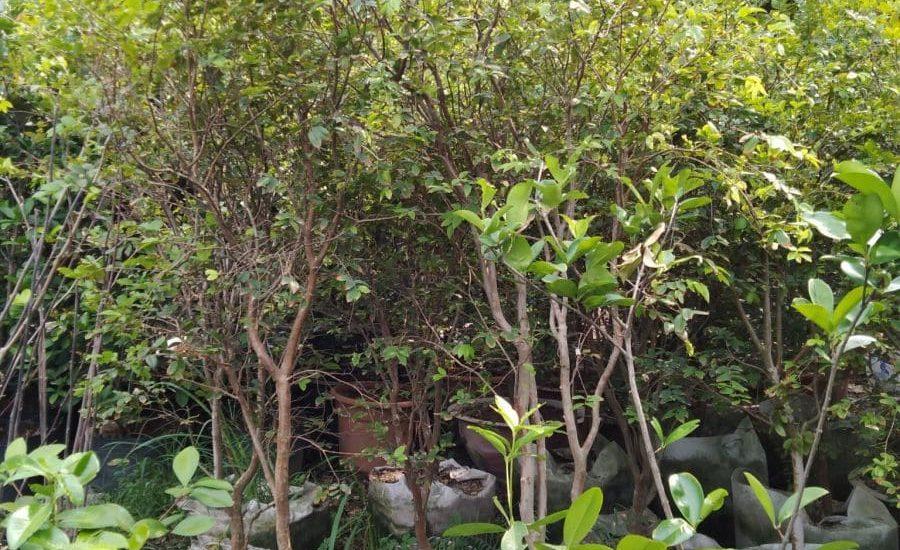 những cây nho thân gỗ
