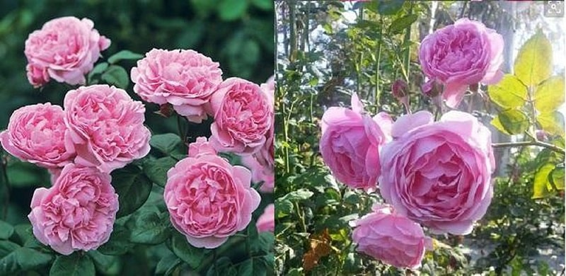 cách Chăm sóc Hoa hồng Bishop Castle xinh đẹp