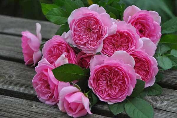 Cách chăm sóc Hoa hồng Eckart Witzigmann
