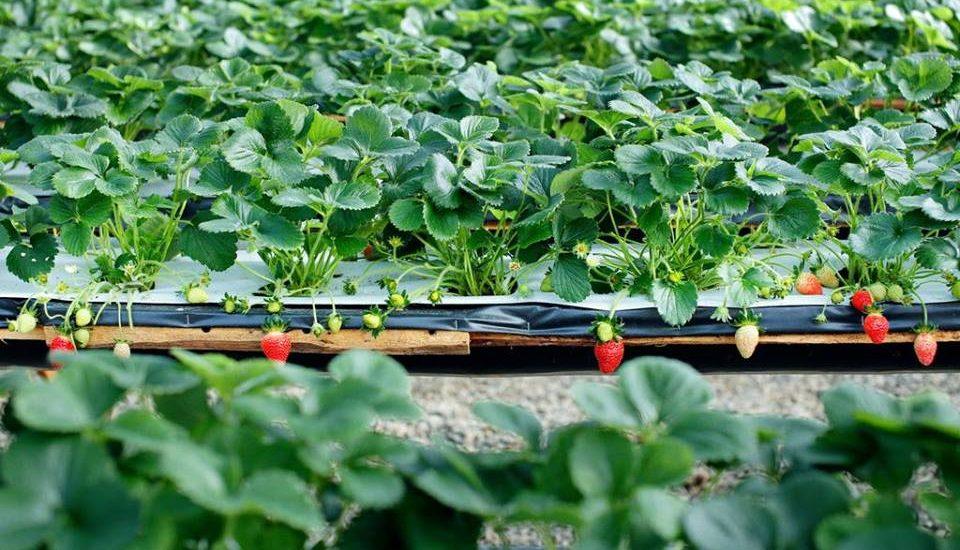 Trong cách trồng cây dâu tây năng xuất cao