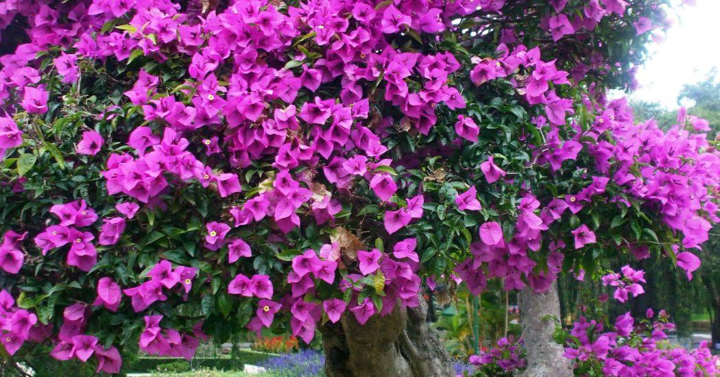 cây hoa giấy lâu năm