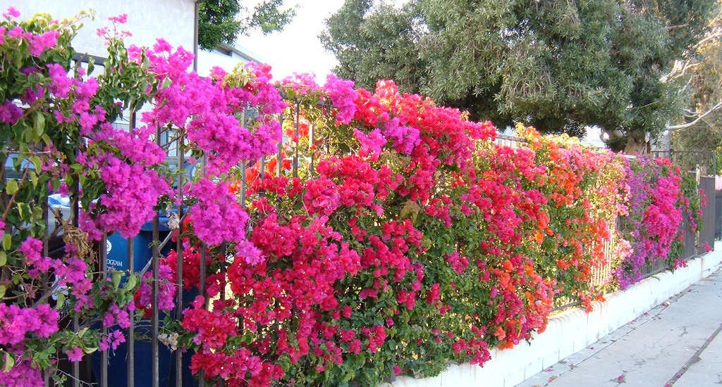 Những điều bạn cần biết trước khi trồng hoa giấy
