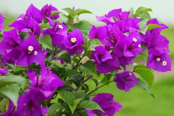 hoa giấy màu tím