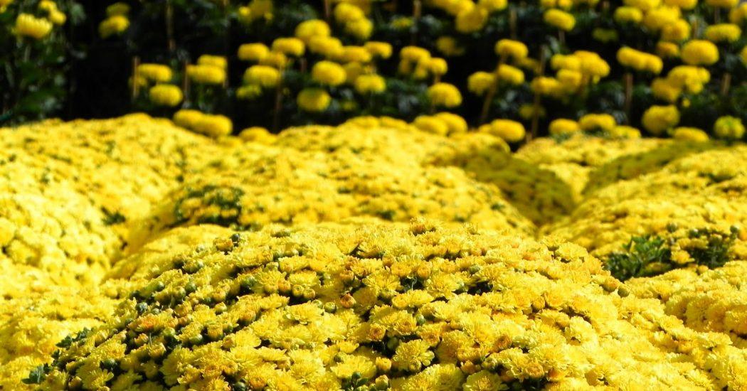hoa cúc vàng ở đà lạt