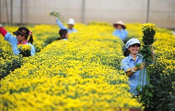 kỹ thuật trồng hoa cúc đà lạt