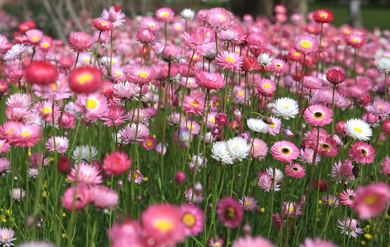hạt giống hoa cúc vàng đà lạt