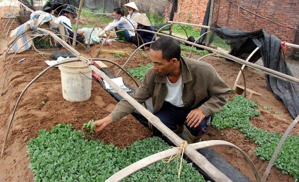 thời vụ trồng hoa cúc đà lạt