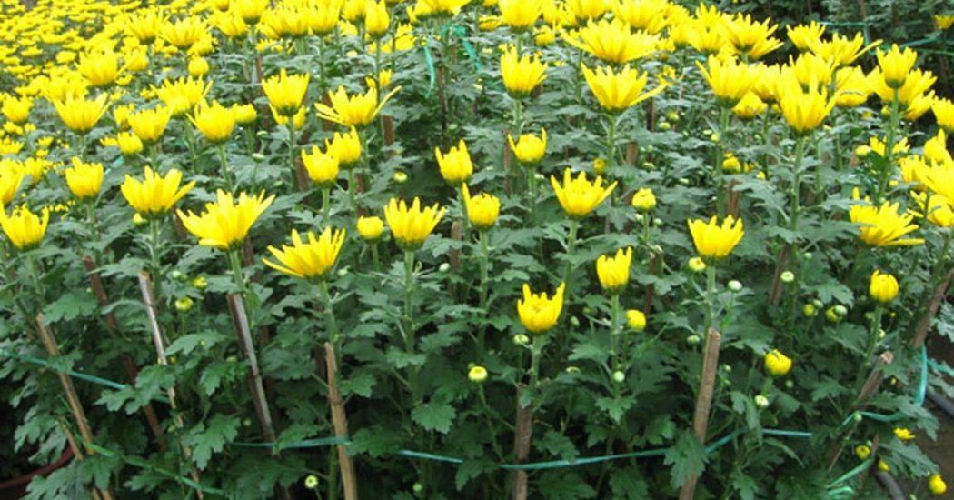 cách trồng hoa cúc đà lạt nhiều màu