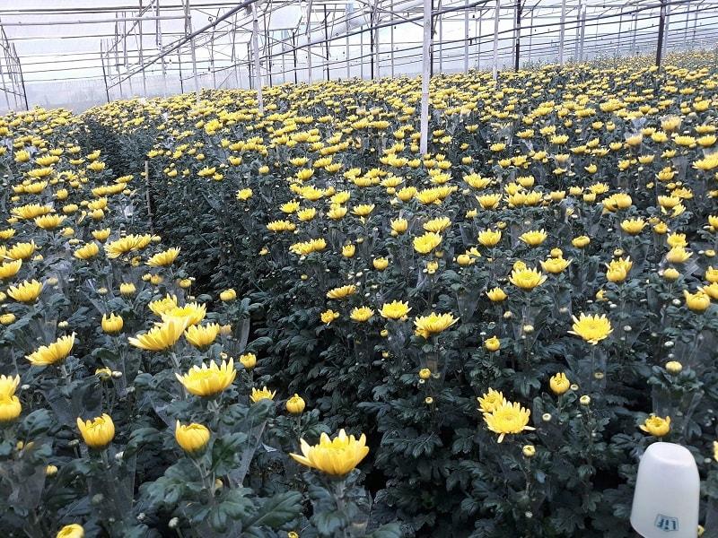 vườn hoa cúc cho thu hoạch rộ