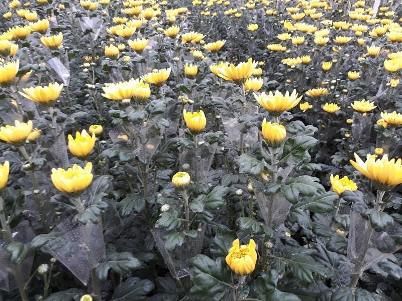 hoa cúc bắt đầu cho thu hoạch