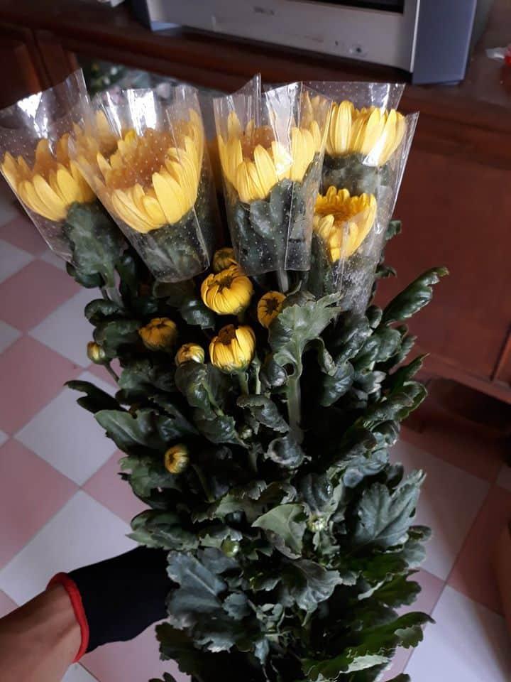 bó hoa cúc vàng trên tay