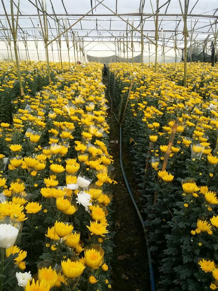 hoa cúc vàng cho thu hoạch đồng loạt