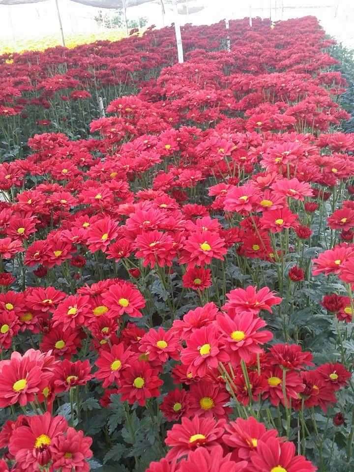 hoa cúc màu đỏ nở rộ