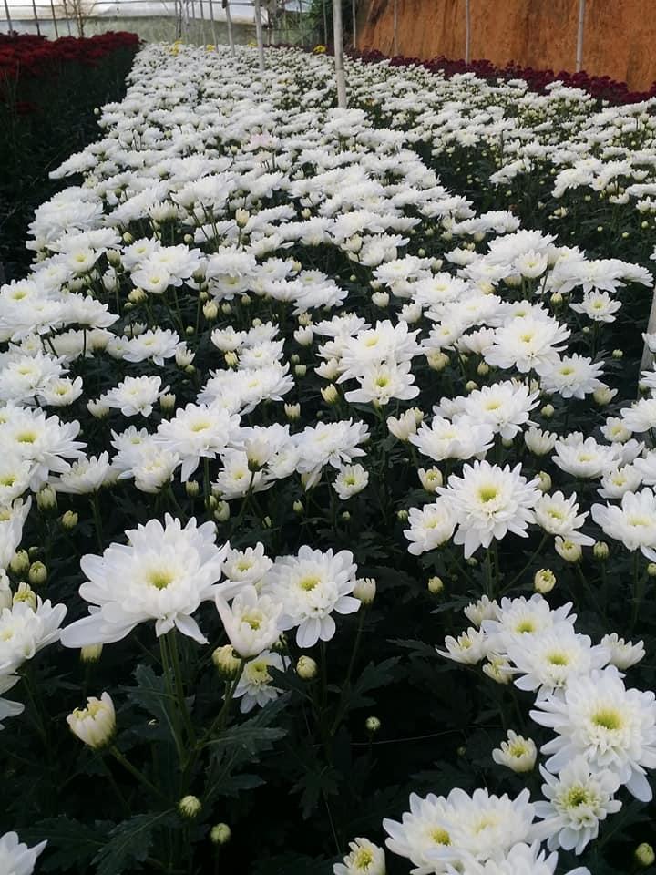 hoa cúc trắng ở đà lạt