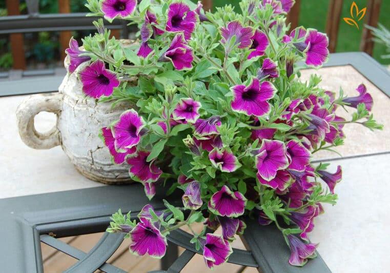 Cách trồng hoa dạ yến thảo bằng cành