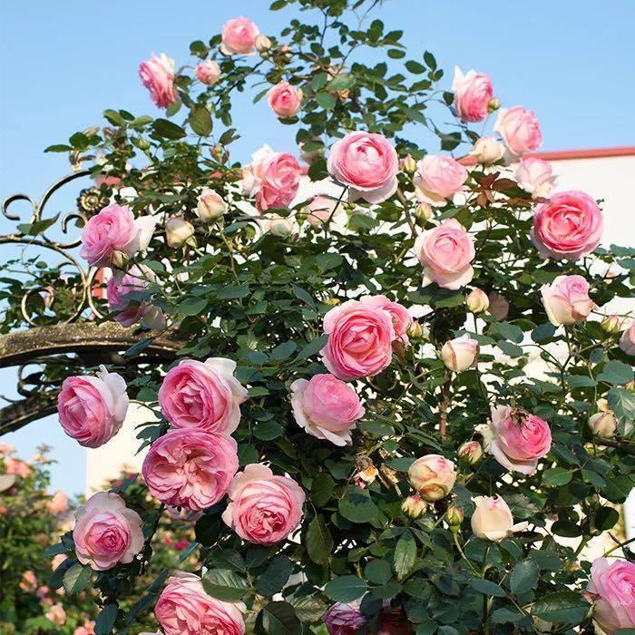 Hoa hồng leo pháp là loại cây cảnh đẹp, thường được trồng làm vòm cổng, trang trí trong các sân vườn biệt thự