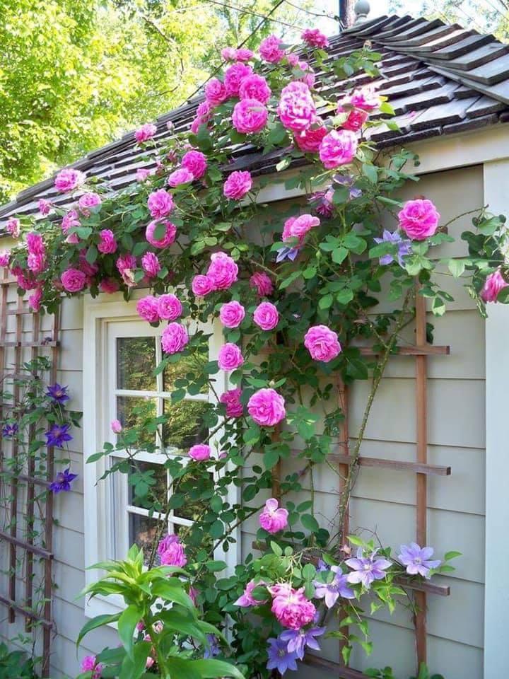 Thời điểm thích hợp nhất để trồng hoa hồng leo là vào đầu mùa xuân, hè hay thu