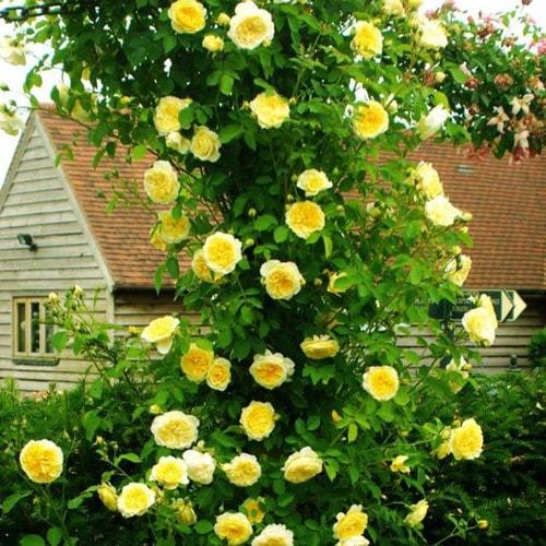 hoa hồng leo pháp màu vàng