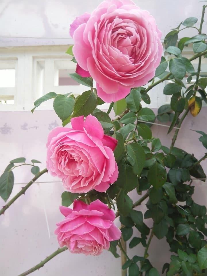hoa hồng leo pháp với những bông hoa xinh đẹp
