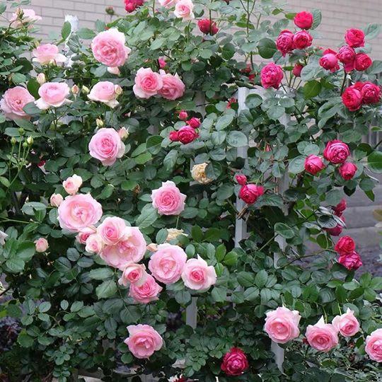 hoa hồng leo pháp cho hoa nhiều hơn