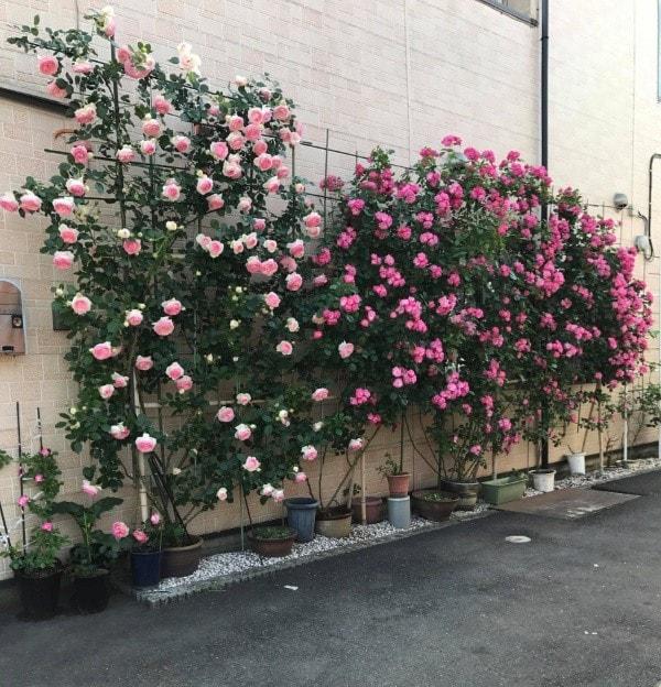 những chậu hoa hồng leo cạnh tường nhà