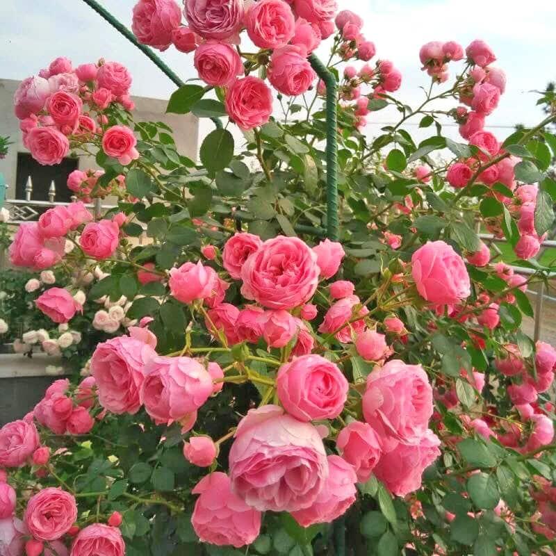 hãy nhìn những cây hoa hồng leo ra hoa