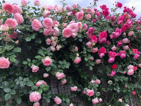 kỹ thuật cách trồng hoa hồng leo pháp tại nhà