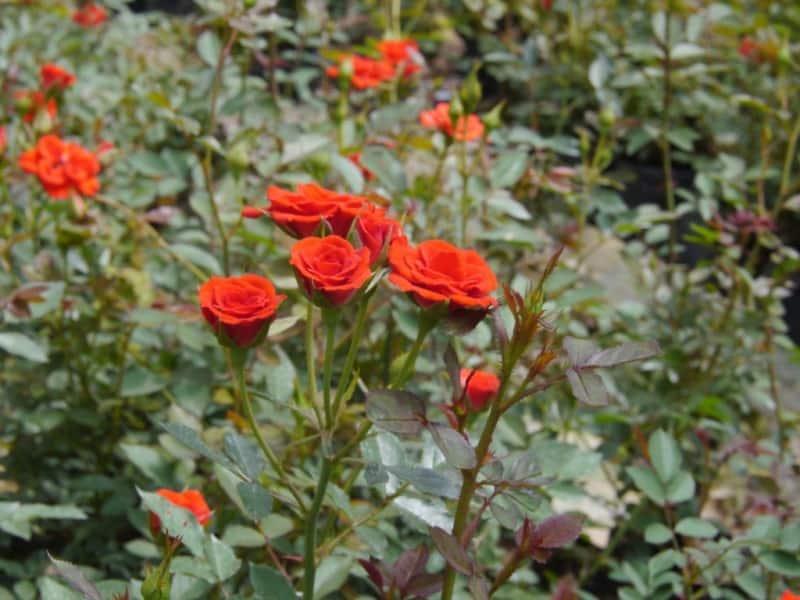 hoa hồng ti muội đẹp