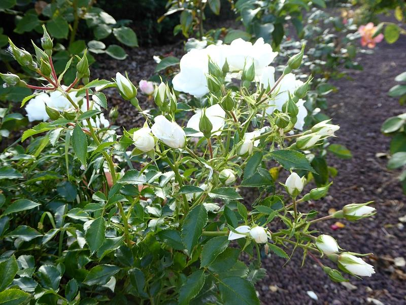 Hướng dẫn cách trồng cây hoa hồng tỉ muội tại nhà