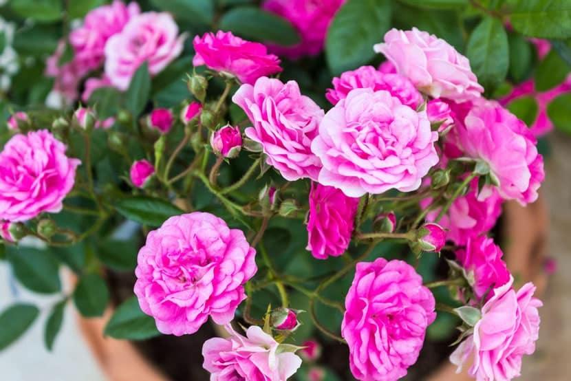 hoa tỉ muội
