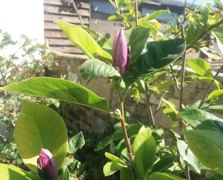 hoa mộc lan dưới ánh nắng
