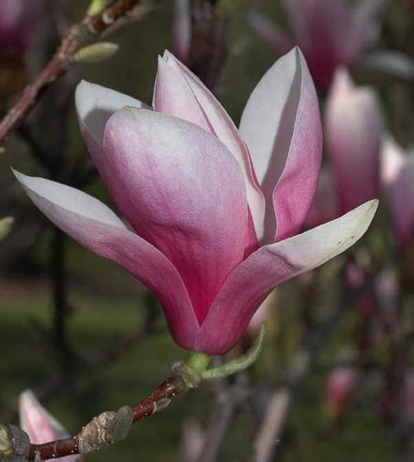 ý nghĩa cây hoa mộc lan
