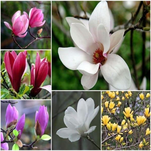 hoa mộc lan nhiều màu sắc