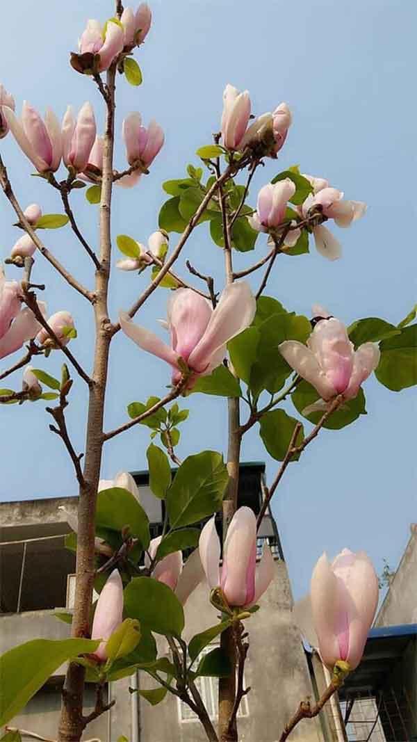 kỹ thuật trồng cây hoa mộc lan