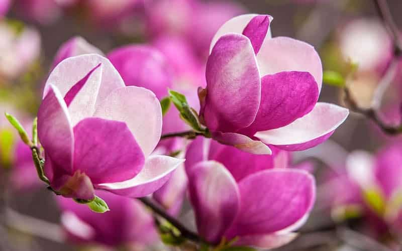 cây hoa mộc lan có dễ trồng không