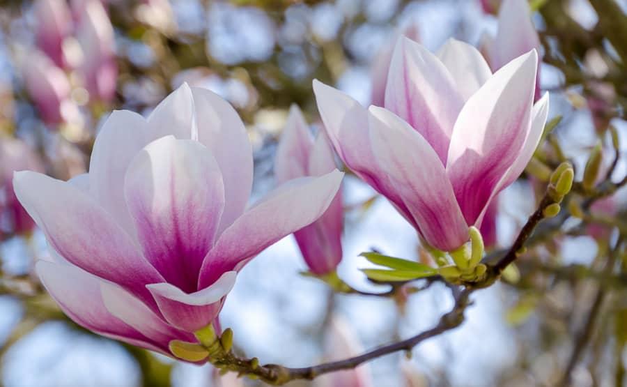 hoa mộc lan khoe sắc đẹp