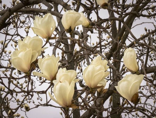 hoa mộc lan màu trắng