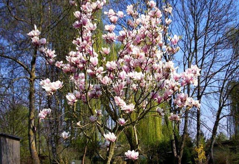 Cách trồng và chăm sóc cây hoa mộc lan tại nhà