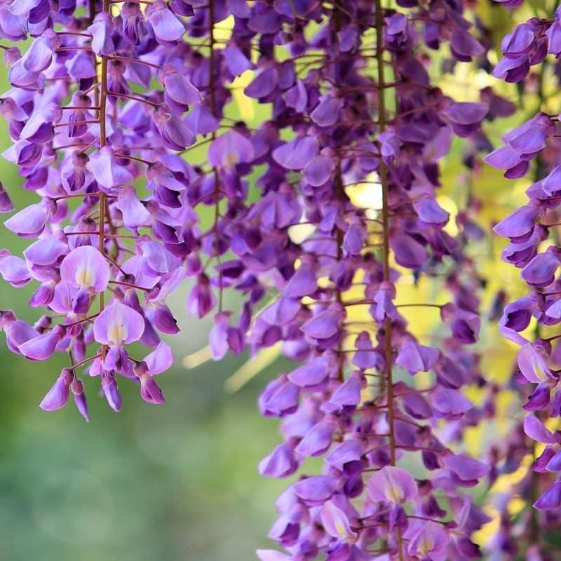 cận cảnh bông hoa tử đằng khoe sắc đẹp