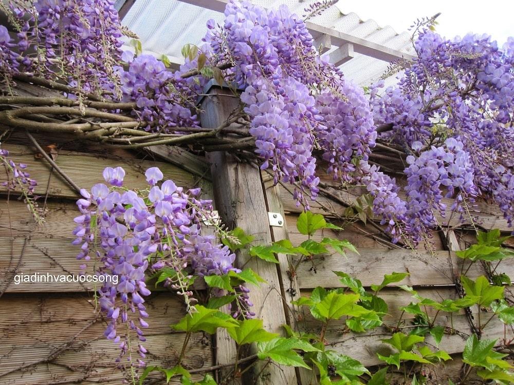 cây hoa tử đằng trồng ở tường rào